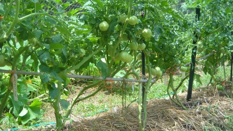 """Новый, но уже успевший полюбиться фермерам сорт - томат """"Сахарная Настасья"""""""