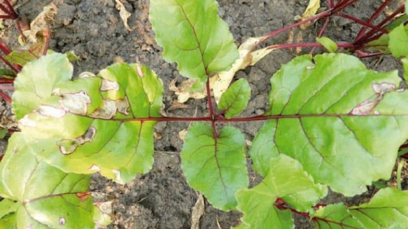 Что делать, когда желтеют листья у свеклы и она не растет?