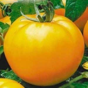 """Один из самых вкусных сортов для употребления в свежем виде - томат """"Желтый гигант"""""""
