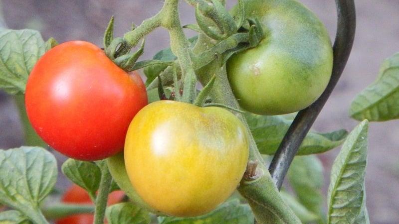 """Раннеспелый гибрид с исключительным вкусом - томат """"Лили Марлен f1"""""""
