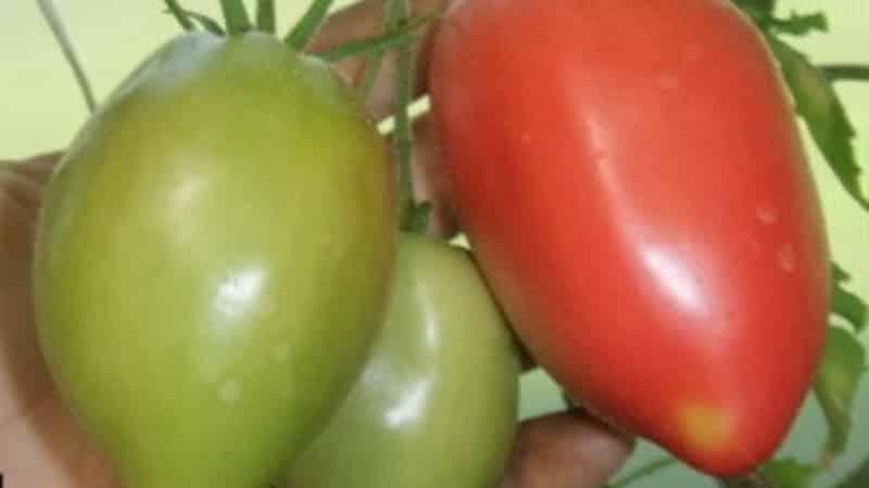 """Среднеспелый сорт с приятным вкусом и мощными кустами - томат """"Капия розовая"""""""
