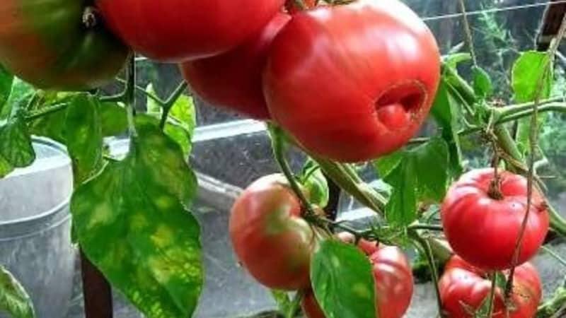"""Крупные плоды с отличным вкусом - томат """"Бабушкин секрет"""""""