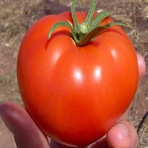 Томат Мальвина характеристика и описание сорта условия выращивания с фото