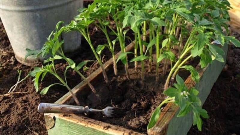 """Плодовитый сорт с говорящим названием - томат """"Видимо-невидимо"""": ставим рекорды по урожайности"""
