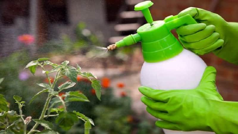 Основные правила обработки томатов борной кислотой: готовим раствор и опрыскиваем, не допуская ошибок