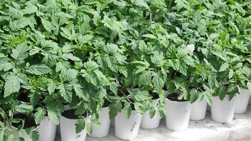 """Высокая и продолжительная урожайность при правильном уходе - томат """"Хохлома"""" и секреты его выращивания"""