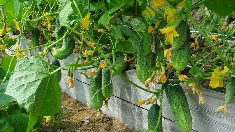 Как повысить урожайность огурцов в открытом грунте с помощью простых, но очень эффективных методов