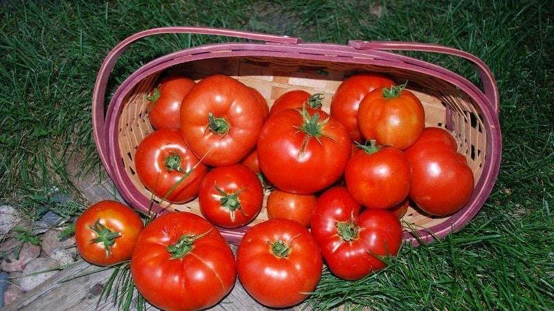 """Голландский томат """"Биг Биф F1"""": что думают о голландском гибриде дачники и советы по выращиванию"""