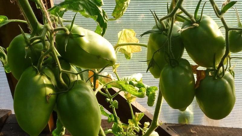 """Почему томат """"Жемчужина Сибири"""" точно вас не разочарует: преимущества и недостатки сорта, дающего богатый урожай"""