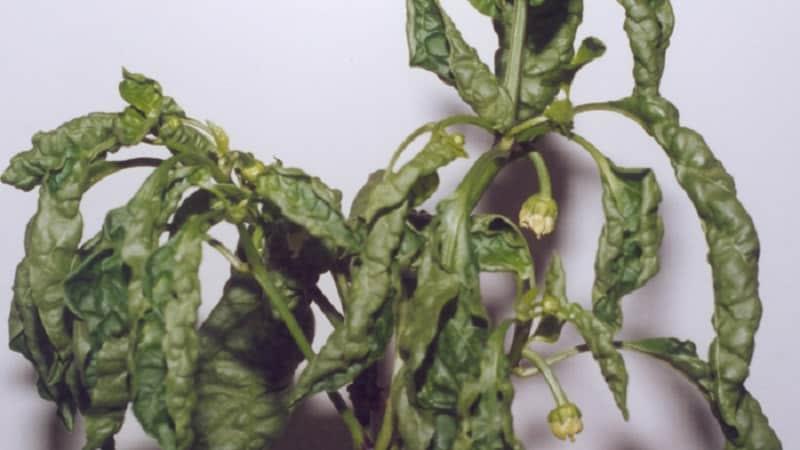 Как и чем бороться с болезнями рассады перца