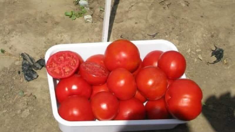 """Отличный гибрид для открытого грунта - томат """"Шеди леди f1"""": выращиваем неприхотливые помидоры без хлопот"""