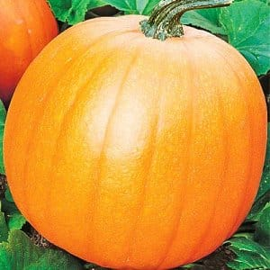 """Чем хороша тыква """"Кустовая оранжевая"""" и почему её стоит попробовать вырастить на своем участке"""