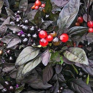 """Удивительный декоративный перец """"Черный принц"""": выращиваем экзотическое растение самостоятельно"""