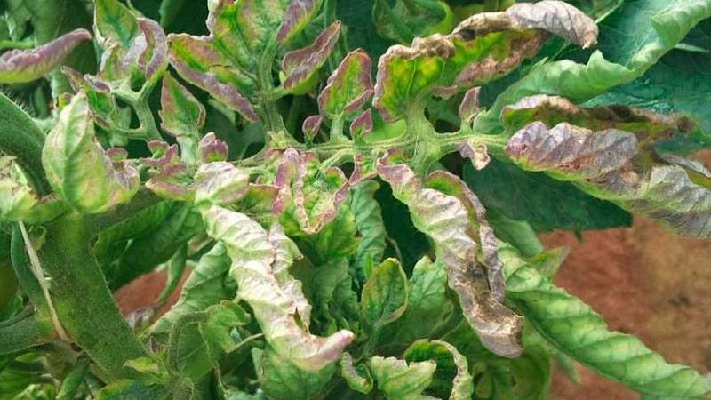 Спасаем помидоры от фитофторы: народные средства, которые помогут эффективно побороть заболевание