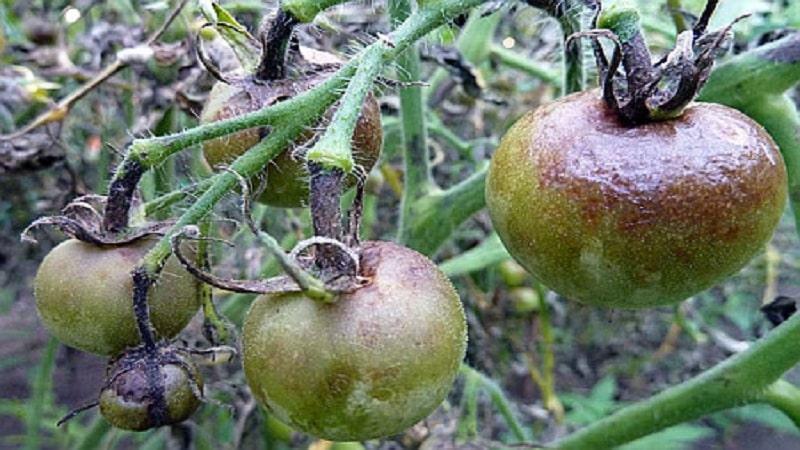 Средство от фитофторы помидор