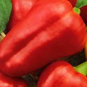 """Раннеспелый, сладкий и сочный сорт перца """"Красная лопата"""": обзор и инструкция по выращиванию"""