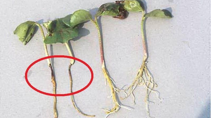Как рассчитать время, когда сажать тыкву на рассаду?