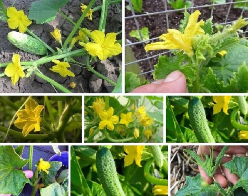 Что делать с пустоцветами на огурцах в теплице и как предотвратить их появление