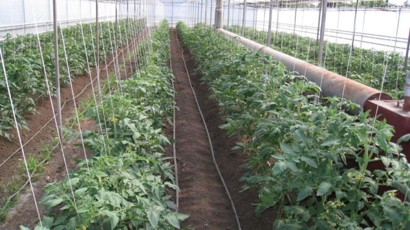"""Лёжкий сорт для салатов и консервации - гибридный томат """"Мальва f1"""""""