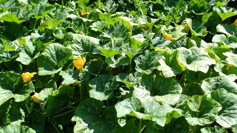 Инструкция по выращиванию тыквы в открытом грунте на Урале: нюансы и советы для начинающих фермеров
