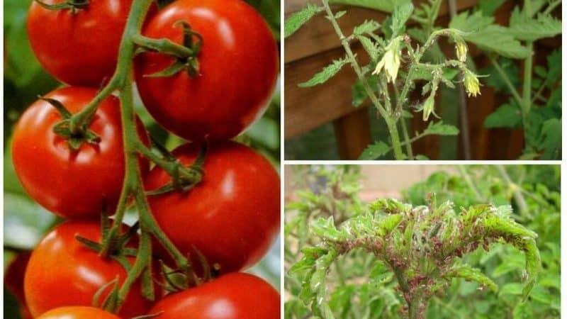 Как избавиться от тли с наименьшим уроном для помидоров?