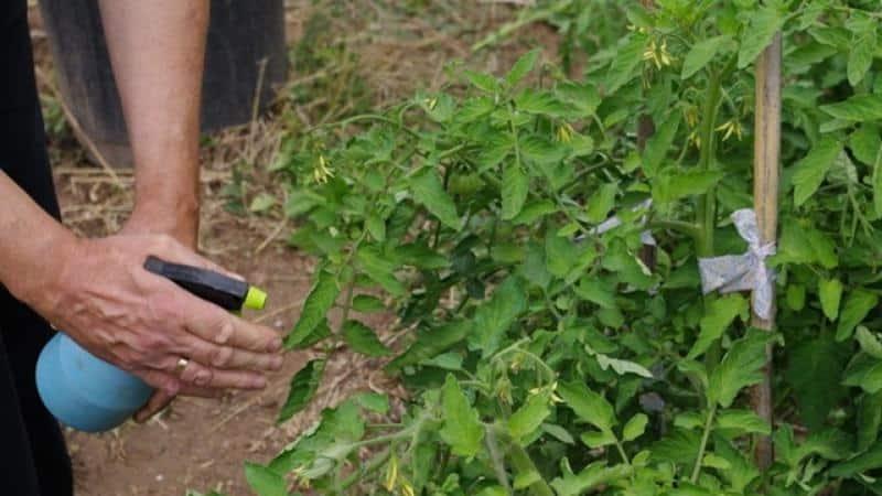 Как правильно применять медный купорос от фитофторы на помидорах: пошаговая инструкция и полезные рекомендации