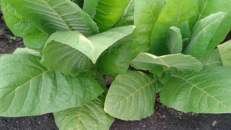 Какие существуют сорта табака, не требующие ферментации