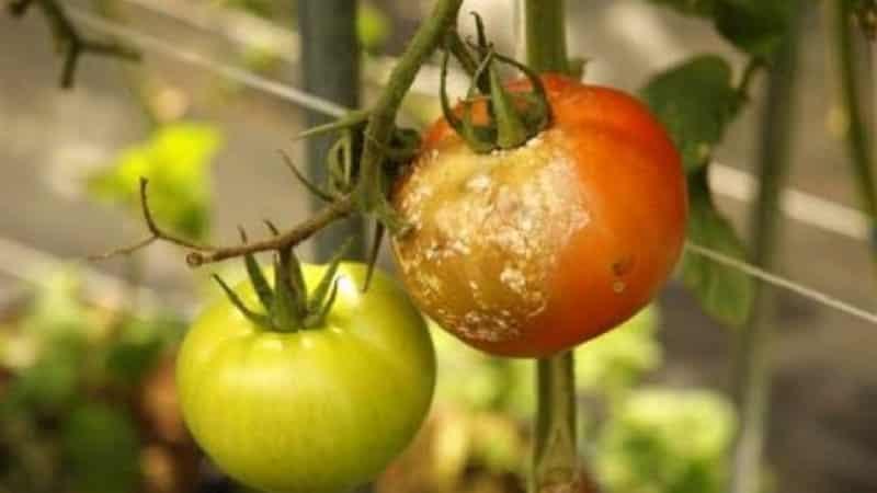 Можно ли обработать помидоры фурацилином от фитофторы и какой будет эффект?
