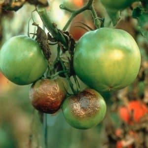 """Надежный препарат на страже здоровья томатов - """"Пеннкоцеб"""" для обработки помидоров: инструкция по применению"""