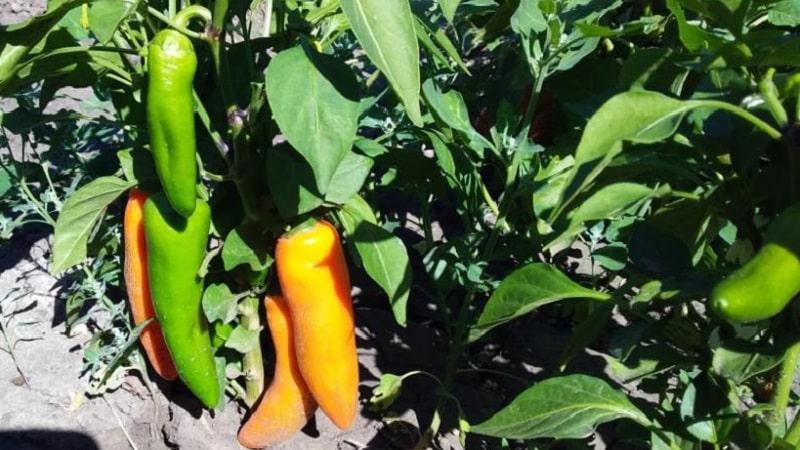 """Очень яркий и удивительно вкусный перец """"Лисичка"""" для заготовок, вкусных блюд и употребления в свежем виде"""