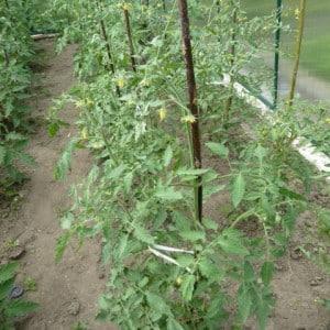 Почему опадает цвет у помидоров в теплице: что делать, чтобы спасти свой урожай томатов