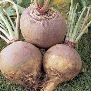 Полезные свойства и противопоказания брюквы: как применять корнеплод в кулинарии, косметологии и народной медицине