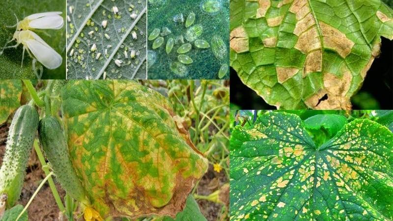 Причины возникновения и методы лечения черного налета на листьях огурцов в теплице