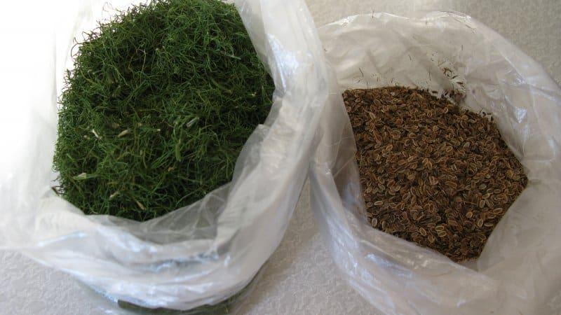 Лечимся эффективно: как правильно использовать семена укропа при цистите