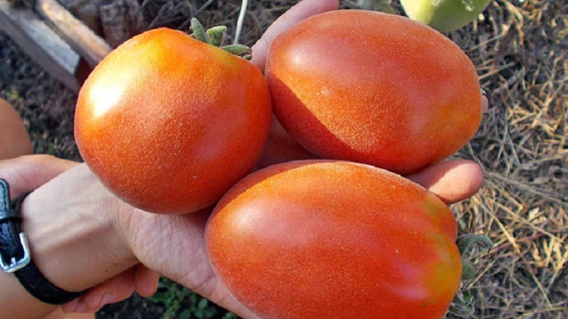 """Сказочная гостья на вашем участке: томат """"Шахерезада"""" - как его выращивать правильно, чтобы получить богатый урожай"""