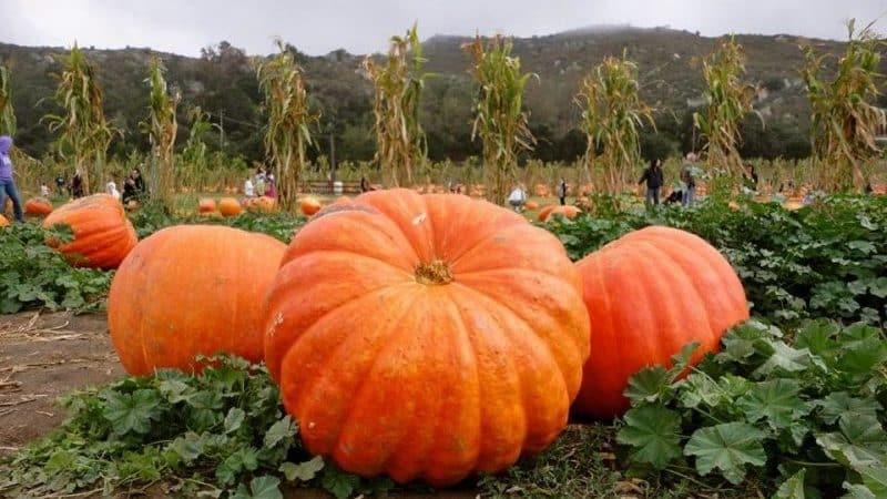 """Ставим рекорды урожайности, выращивая на своём участке гигантский сорт тыквы """"Стофунтовая"""""""