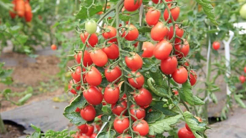 """Яркое и вкусное украшение вашего дачного участка - томат """"Монисто розовое"""""""