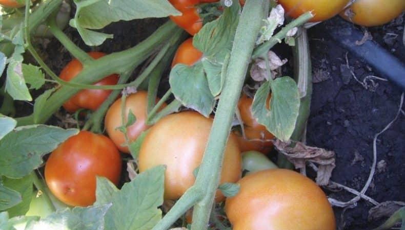 """Желанный гость на вашем участке - томат """"Султан"""": выращиваем без хлопот и наслаждаемся урожаем"""