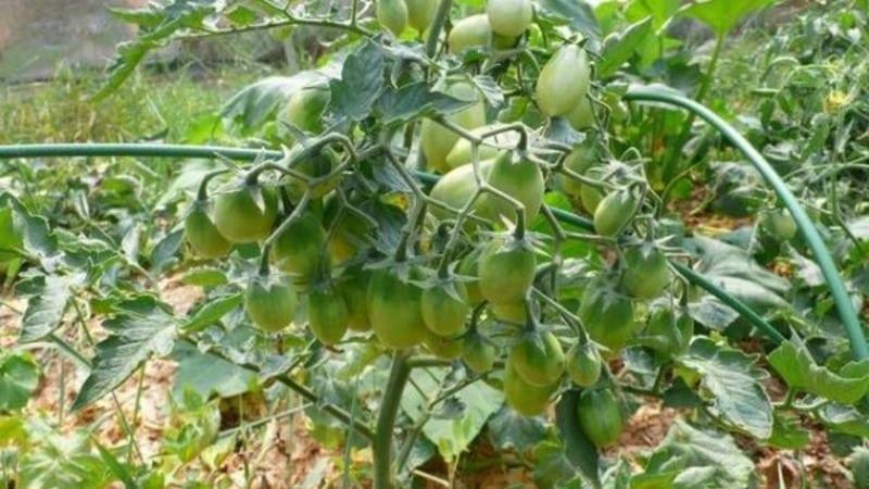Высокорослые высокоурожайные томаты для теплиц: лучшие сорта и помощь в выборе подходящего для вас