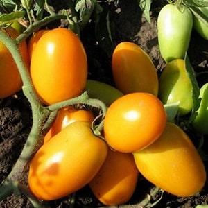 """Яркий сорт с насыщенным вкусом - томат """"Золотая пуля"""": выращиваем урожай на зависть всем соседям"""