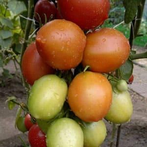 """Старинный поволжский сорт сладких помидоров: обзор томата """"Сызранская пипочка"""" и тонкости его выращивания"""