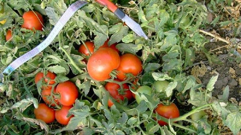 """Ранний богатый урожай на радость каждому дачнику - томат """"Полбиг"""""""