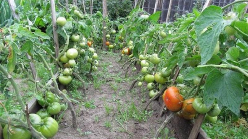 """Любимые огородниками помидоры """"Хлебосольные"""": вырастим богатый урожай, несмотря на погодные условия"""