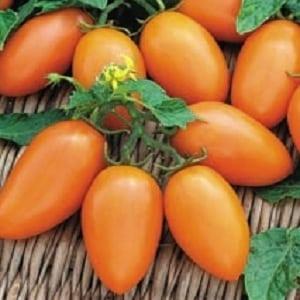 """Крайне жизнеспособный, вкусный и плодовитый томат """"Лисичка"""""""