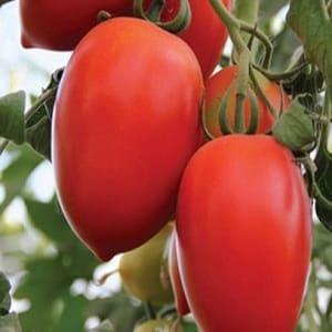 """Гибридный томат """"Императрица"""": инструкция по выращиванию на своем участке от посева до сбора урожая"""