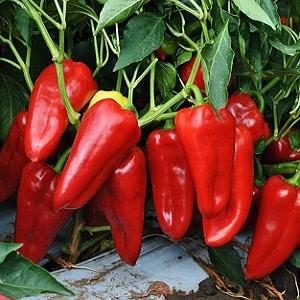 """Уникальный сорт с богатым урожаем и превосходным вкусом - перец """"Айвенго"""": описание и советы по выращиванию"""