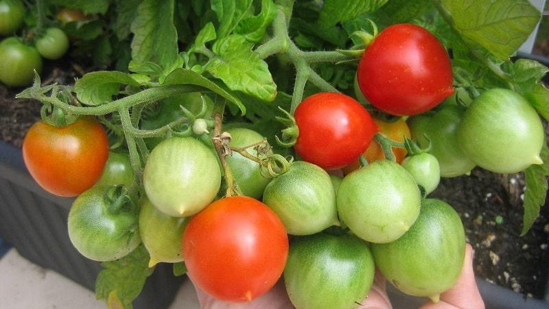 Как выращивать томат {amp}quot;Поцелуй герани{amp}quot; с компактными кустами, насыщенным вкусом и стабильной урожайностью