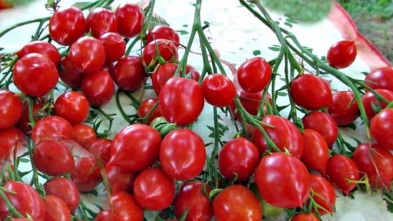 """Как выращивать томат """"Поцелуй герани"""" с компактными кустами, насыщенным вкусом и стабильной урожайностью"""