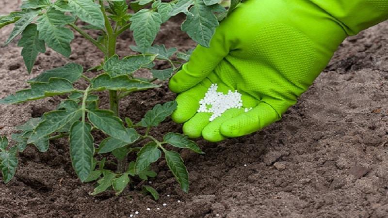 Появились фиолетовые пятна на листьях томатов: почему это могло произойти и как спасти свой урожай помидоров