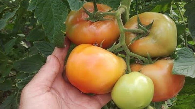 """Крупноплодные голландские гибридные томаты """"Махитос"""": секреты грамотного ухода для получения обильного урожая"""